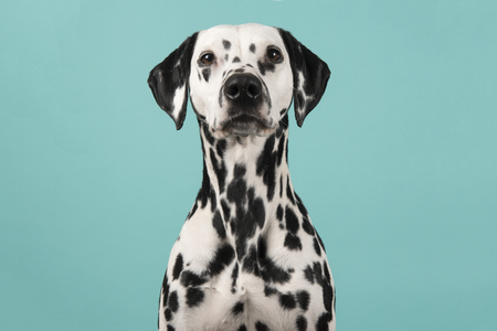 Portrait of a dalmatian dog looking at the camera on a blue background Stock Photo