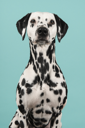 Portrait of a pretty dalmatian dog looking at the camera on a blue background in a vertical image Stock Photo