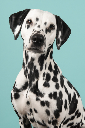 Portrait of a dalmatian dog looking at the camera on a blue background seen from the side