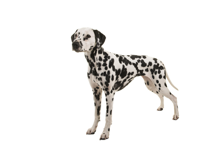 Standing dalmatian dog isolated on a white background Stock Photo
