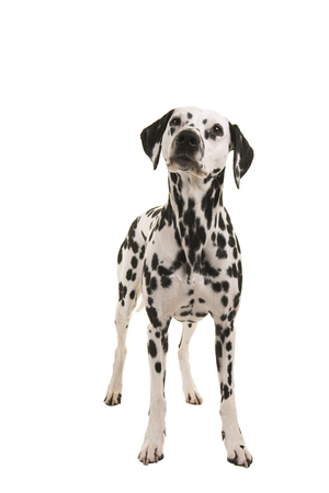 Standing dalmatian dog looking up isolated on a white background seen from the front
