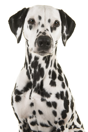 Portrait of a pretty dalmatian dog looking at the camera isolated on a white background Stock Photo
