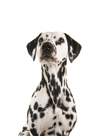 Portrait of a dalmatian dog looking up isolated on a white background in a vertical image