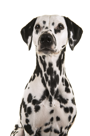 Portrait of a dalmatian dog glancing away isolated on a white background Stock Photo