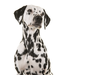 Portrait of a dalmatian dog looking up isolated on a white background Stock Photo