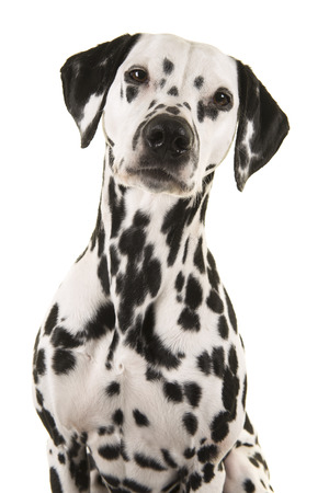 Portrait of a dalmatian dog looking at the camera isolated on a white background