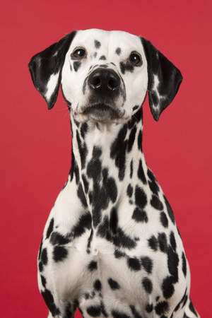 Portrait of a dalmatian dog on a red background in a vertical image Standard-Bild