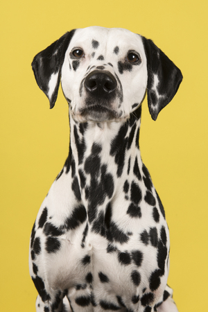 Portrait of a dalmatian dog looking at the camera on a yellow background in a vertical image Stock Photo