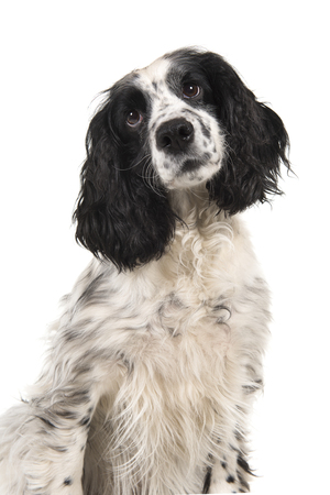 Portrait of a english cocker spaniel glancing away isolated on a white background