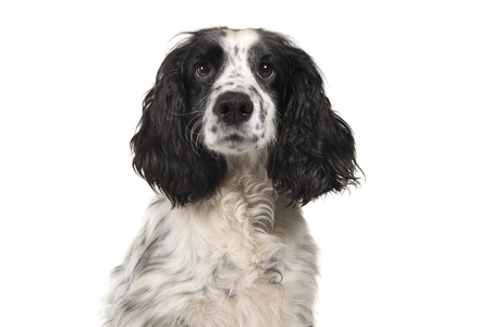 Portrait of a english cocker spaniel looking at the camera isolated on a white background Stock Photo