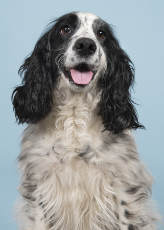 Portrait of an english cocker spaniel on a blue background