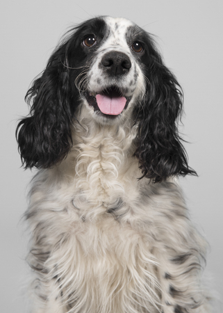 Portrait of a black and white english cocker spaniel on a grey background