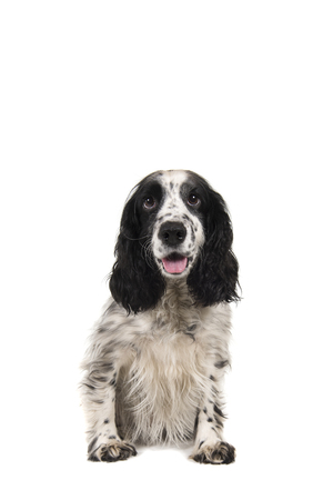 Sitting english cocker spaniel with mouth open seen from the front isolated on a white background