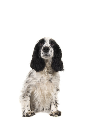Sitting english cocker spaniel seen from the front isolated on a white background Stock Photo