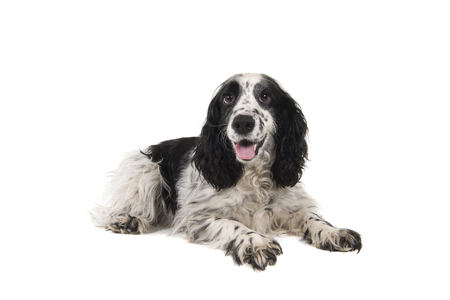 English cocker spaniel with mouth open seen from the side lying down isolated on a white background