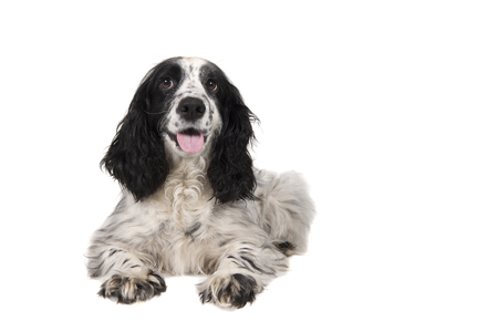 English cocker spaniel with mouth open seen from the front lying down isolated on a white background Stock Photo