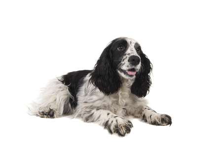 English cocker spaniel with mouth open looking away lying down isolated on a white background Stock Photo
