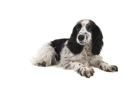 English cocker spaniel lying down isolated on a white background