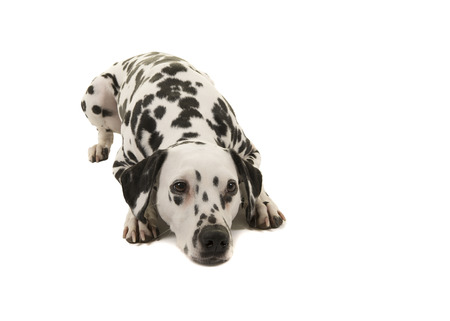 Dalmatian dog lying down isolated on a white background