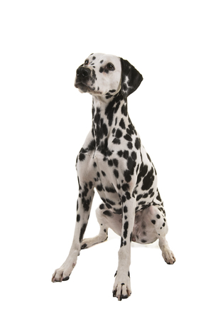 Sitting Dalmatian dog looking up isolated on a white background seen from the side
