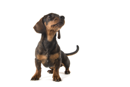 Smooth haired dachshund looking up standing isolated on a white background