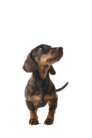 Smooth haired dachshund looking up standing isolated on a white background seen from the front