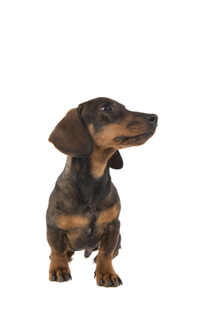 Smooth haired dachshund looking to the right standing isolated on a white background seen from the front Stock Photo