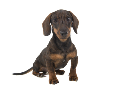 Dachshund looking at the camera sitting isolated on a white background Stock Photo