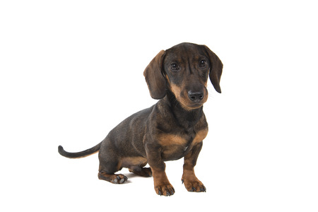 Smooth haired Dachshund looking at the camera sitting isolated on a white background Stock Photo
