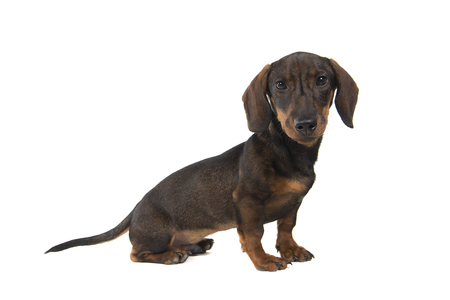 Smooth haired Dachshund looking at the camera sitting isolated on a white background seen from the side Stock Photo
