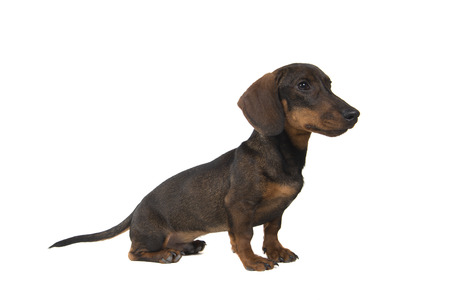 Dachshund looking to the side sitting isolated on a white background seen from the side Stock Photo