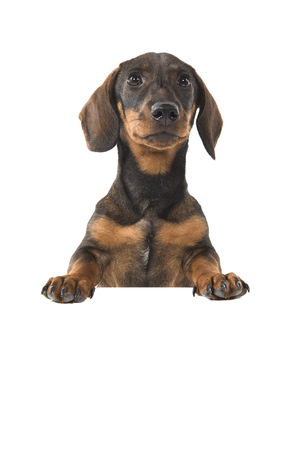 Smooth haired Dachshund looking up holding a white board on a white background