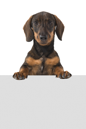Smooth haired Dachshund looking at the camera holding a grey board on a white background with space for copy