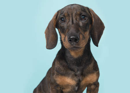 Portrait of a smooth haired Dachshund looking at the camera on a blue background Stock Photo