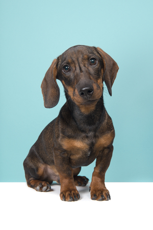 Dachshund looking at the camera sitting on a blue background and white underground Stock Photo