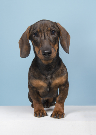 Dachshund looking at the camera sitting on a blue background and white underground seen from the front