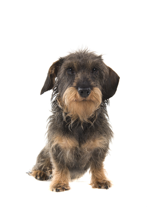 Sitting wirehaired Dachshund looking at the camera isolated on white background seen from the front Stock Photo