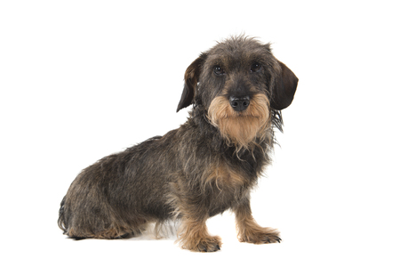 Side view of a sitting wirehaired Dachshund looking at the camera isolated on white background