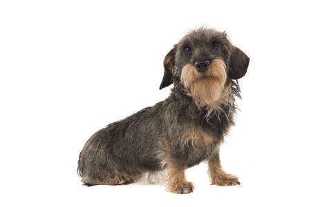 Side view of a sitting wirehaired Dachshund looking up isolated on white background Stock Photo