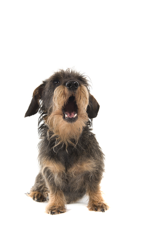 Sitting wirehaired Dachshund looking up with mouth open isolated on white background