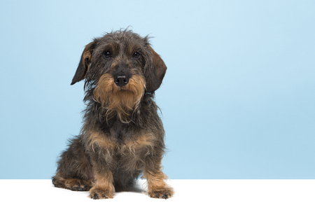 Sitting wirehaired Dachshund looking at the camera  on a blue background and a white underground with copy space Stock Photo
