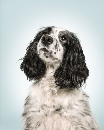 Portrait of an english cocker spaniel looking up on a blue background with white spot