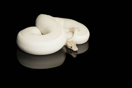 Pretty white king python snake curled up on a black background with reflection