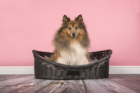 Cute long haired shetland sheepdog sitting in a dog bed on a pink background 版權商用圖片