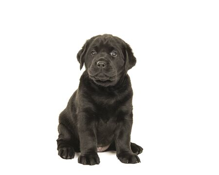 Cute sitting black labrador retriever puppy isolated on a white background