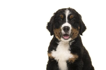 Portrait of a cute bernese mountain dog puppy looking at the camera with mouth open isolated on a white background Stock Photo