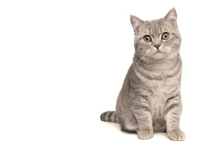 Pretty sitting silver tabby british shorthair cat looking at the camera isolated on a white background
