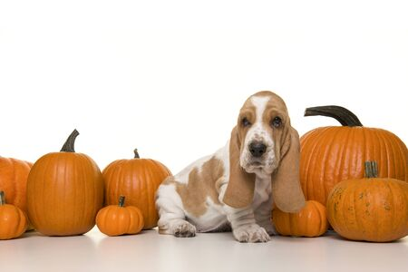 Cute basset hound puppy sitting between a row of orange pumpkins looking at the camera on a white background Stock Photo