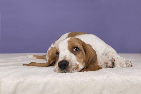 Lindo cachorro de basset hound acostado mirando hacia arriba sobre un fondo púrpura Foto de archivo
