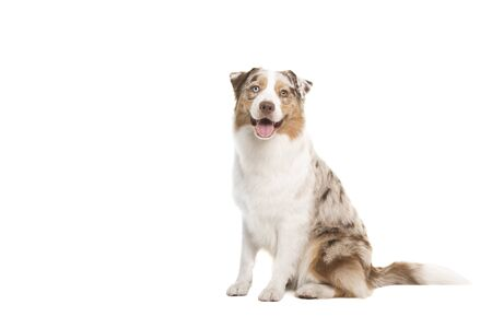 Pretty happy australian shepherd dog looking at the camera sitting isolated on a white background with space for copy